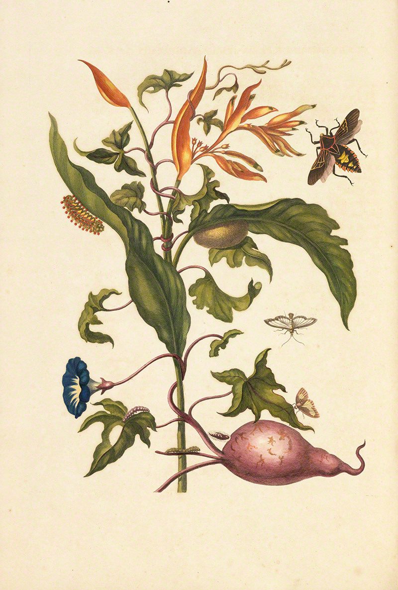 Sweet potato, you gorgeous thing! 1719 illustration by Maria Sibylla Merian: Parrot flower (Heliconia psittacorum) and leaves of sweet potato plant (Ipomoea batatus) with member of the mesquite bug (Pachylis pharanois) and larvae of an unidentified species of Eucleidae. The Getty Research Institute