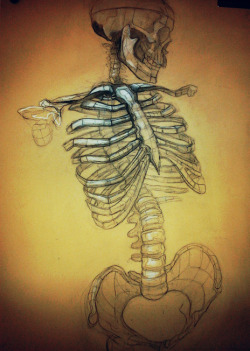 scientificillustration:  Analytic drawing of human skeleton from wanderingtheplanes