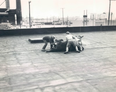 Rooftop capture of a steer which had escaped the slaughterhouse on the second level of a meat packing plant near the Stockyards, 1964, Chicago.