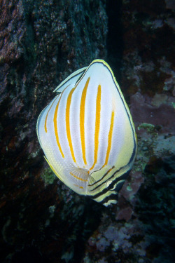 ornatissimus by BarryFackler on Flickr.#Butterflyfish#Hawaii#Nature#Photo
