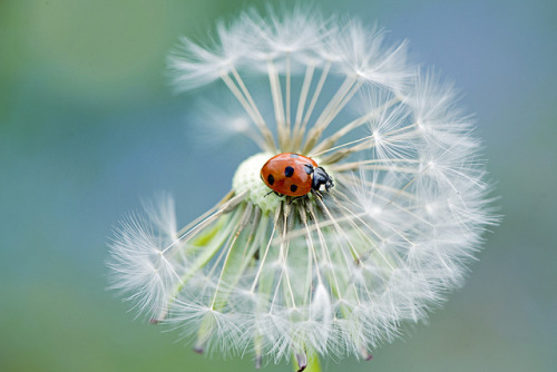 Dandy Lady by Jacky Parker Floral Art on Flickr.