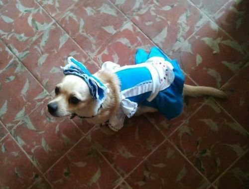 And the winner of the costume contest is…. Pearl as Alice in Wonderland! I had more entries this year than I ever have and the decision was so difficult. Imagine being bombarded with the most adorable pictures you can imagine, and then having to choose just one. It's my Sophie's choice! This picture of Pearl came out on top because it's possibly the sweetest costume a human can imagine. That dress! That bow! That sweet face! I'M DEAD FROM THE SWEETNESS. Congrats Pearl, and thanks for the pic Nilsy! I will be posting more of the amazing entries I received this week while I'm stuffing my face with home cooking. Well done everyone!