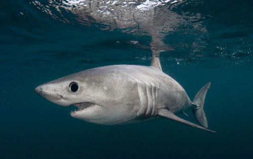 "rhamphotheca:   Hope Delayed for Sharks in Atlantic by Erik Stokstad Conservationists failed to win new protections for threatened sharks in the Atlantic Ocean at the annual meeting of a major international fisheries commission, but they hope to make significant progress over the next few years. That's because for the first time, the International Commission for the Conservation of Atlantic Tunas, which concluded its annual meeting today in Agadir, Morocco, has agreed to open its treaty for new changes, including to shark management. ""This is unprecedented,"" says Elizabeth Wilson of the Pew Environment Group, an environmental advocacy organization based in Washington, D.C. ICCAT, which was established in 1966, manages some 30 species, including swordfish, marlin, and other tunalike species. But the commission does not set catch limits for sharks. Most kinds of sharks are caught accidentally by vessels hunting for tuna and tunalike species, although a few species, such as shortfin makos, are targeted directly for their meat and large fins… (read more: Science NOW)               (image: Porbeagle Shark, by Doug Perrinne, SeaPics)"