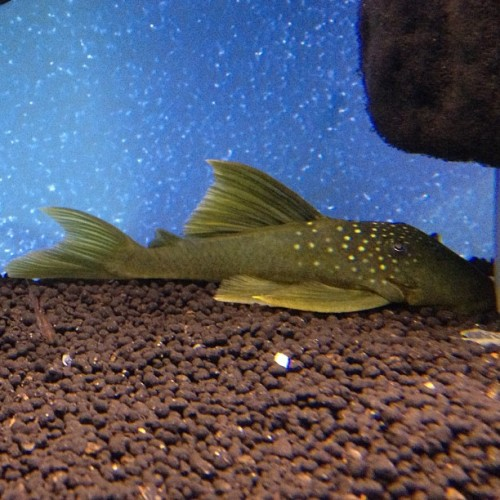 My L-200, Baryancistrus demantoides #GreenPhantomPleco #pleco #suckercat #fishtank #mytank #freshwatertank #fish #aquatic #thelifeaquatic #Aquarium #communitytank #instafish #fishhub #fishgeek #fishlife #fishporn #aquaporn #tanklife #tankporn #aqualife #fishnerd #fintastic #aquascape #somethingisfishy #fishkeepers #fishfancy