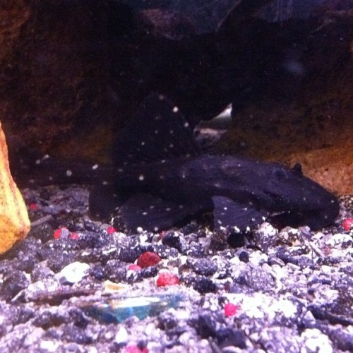 My L-155 Acanthicus Adonis #adonispleco #pleco #plecostamus #lyretailpleco #fishtank #mytank #freshwatertank #fish #aquatic #thelifeaquatic #Aquarium #communitytank #instafish #fishhub #fishgeek #fishlife #fishporn #aquaporn #tanklife #tankporn #aqualife #fishnerd #fintastic #aquascape #somethingisfishy #fishkeepers #fishfancy cc @peewee24