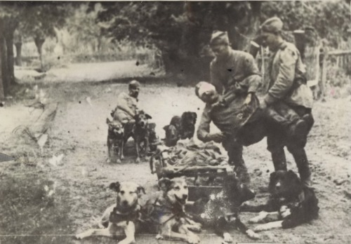 Medics of the 13th Army evacuate wounded soldiers via dog sled, GER April 1945