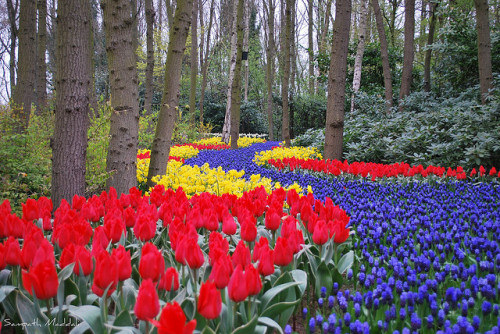 sapphire1707:  tulip flower path, keukenhof, netherlands by Sampath Maddali on Flickr.