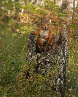 stuffedbubble:  This little squirrel was a bit wary at the noise of the shutter at first. When it realised there was food as a reward for posing nicely he quickly trusted me.