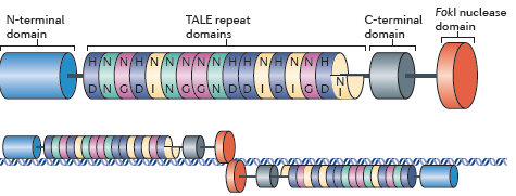 sciencenote:  TALENs: a widely applicable technology for targeted genome editing J. Keith Joung & Jeffry D. Sander Abstract Engineered nucleases enable the targeted alteration of nearly any gene in a wide range of cell types and organisms. The newly-developed transcription activator-like effector nucleases (TALENs) comprise a nonspecific DNA-cleaving nuclease fused to a DNA-binding domain that can be easily engineered so that TALENs can target essentially any sequence. The capability to quickly and efficiently alter genes using TALENs promises to have profound impacts on biological research and to yield potential therapeutic strategies for genetic diseases.