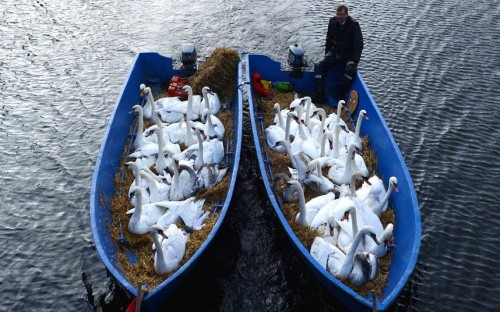 inothernews:  FLOCK OF THE BAY  Swans look out of boats as they are transported to the wintering grounds on the Alster in Hamburg, Germany.  (Photo: David Hecker / AP via The Telegraph)