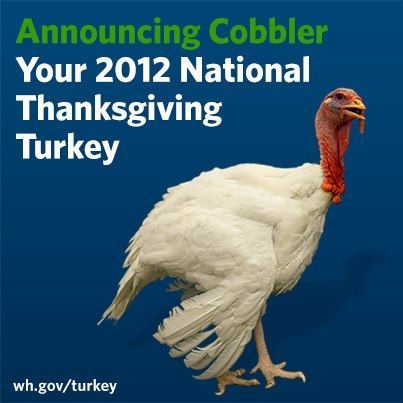 "Image description: President Obama ""pardoned"" Cobbler the turkey during today's National Thanksgiving Turkey Presentation. Cobbler was born in Rockingham Country, Virginia and weighs over 40 pounds. He craves cranberries, is known for his strut, and enjoys the music of Carly Simon. After the event, Cobbler will travel to George Washington's Mount Vernon Estate and Gardens. He will reside in a custom-made enclosure at Mount Vernon's nationally recognized livestock facility. If you want to learn more about the origin of the turkey pardon, read the White House's Definitive History of the Presidential Turkey Pardon."