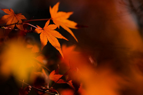 raspberrytart:  Red Japanese Maple Leaves シーズン終盤の紅葉 by Masashi bon on Flickr.