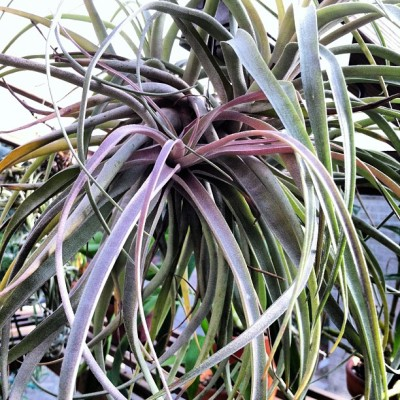Tillandsia brachycaulos x xerographica showing some color