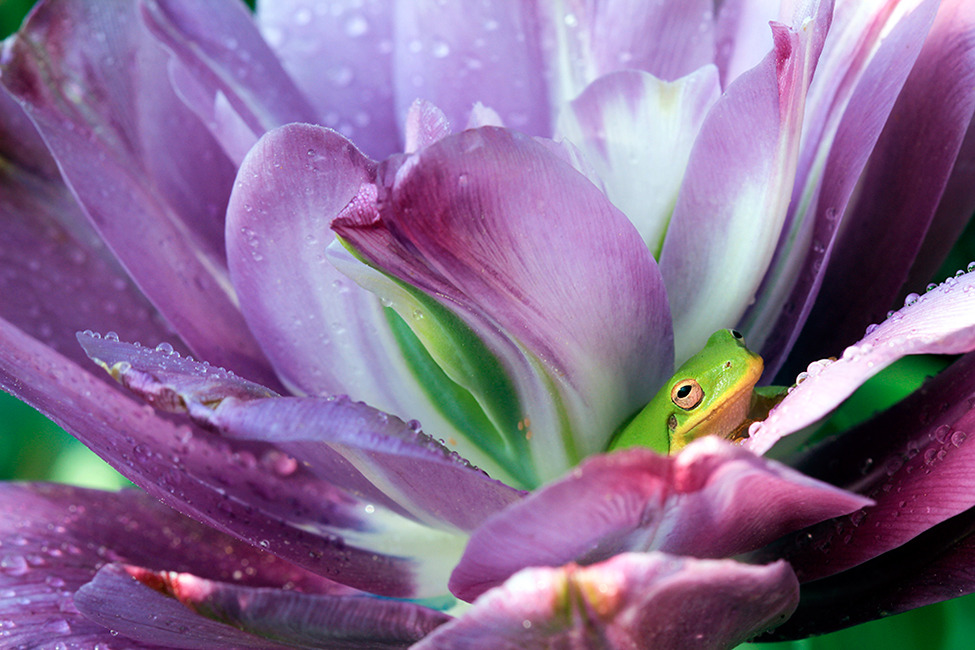 Photo of the Day: A Tree Frog Resting Inside a Tulip Photo by Lynn Whitt (Brandy, Virginia); Columbia, South Carolina