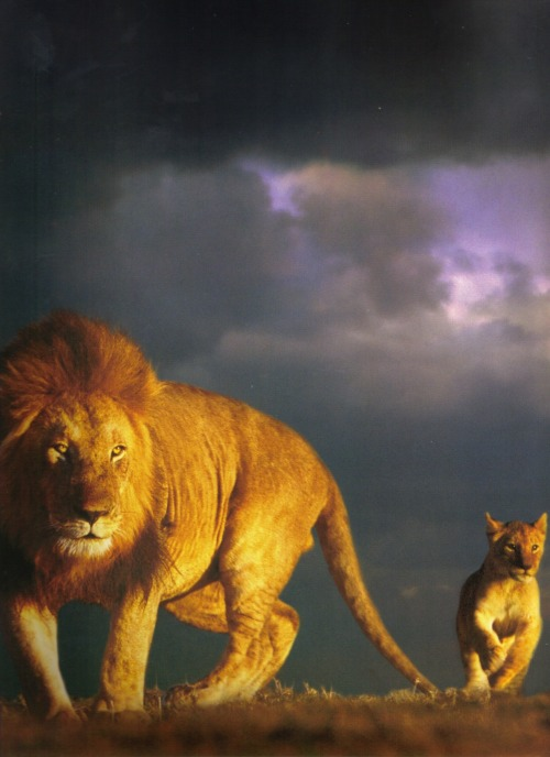 a lion and cub roam the savannha against a back drop of heavy storm clouds.