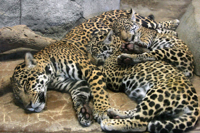 sdzoo:  A pile of love by Penny Hyde on Flickr.