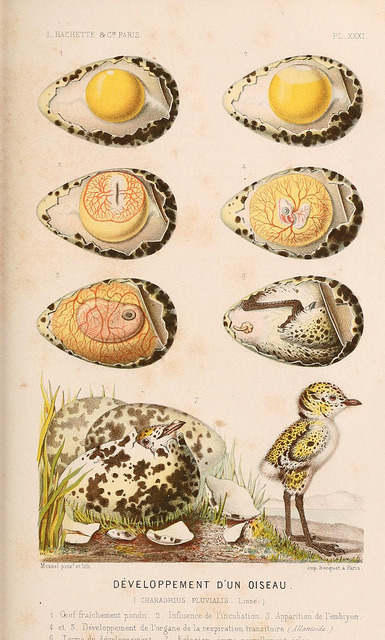 Development of a bird by BioDivLibrary on Flickr. Le monde de la mer ….Paris,L. Hachette & Cie,1866..biodiversitylibrary.org/page/2073655