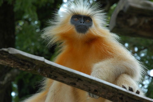 rhamphotheca:  The endangered Golden Langur (Trachypithecus geei) has been declared an endangered species. I found these langurs on the island of Umananda, in the Brahmaputra river next to the bustling city of Guwahati, Assam, India. Their striking color and long tails make them quite attractive, and visitors to the island's temple are happy to indulge them with biscuits and cake. (text/photo: Doniv79 | Wikipedia)