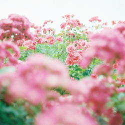 floralls:  rose * (by lilonala)