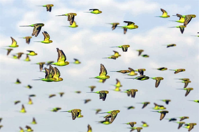 Check out this photo gallery of tens of thousands of budgerigars flocking in the desert.