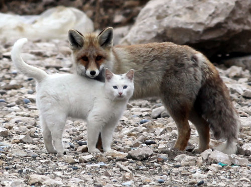 howtoskinatiger:  Near the shores in the city of Van, a cat and a fox are often seen playing together. A local said he first saw them together when they shared some left over fish from a fisherman. The pair soon began to play together and it has now been over a year since they began this unlikely alliance.