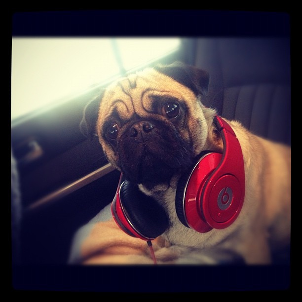 My boo 😍🎶 #goldcoast #pug #puglife #frankthepug #frank #cute #amazing #beats #drdre #cute #goodlife #pugsnotdrugs #music