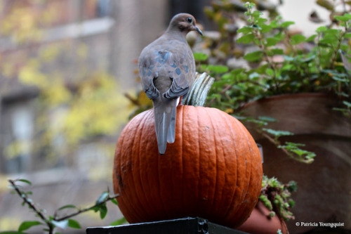 A mourning dove visiting my urban (NYC) garden, contemplates the beauty of my Rubus calycinoides (Creeping Raspberry) as he/she reflects on Thanksgiving blessings.