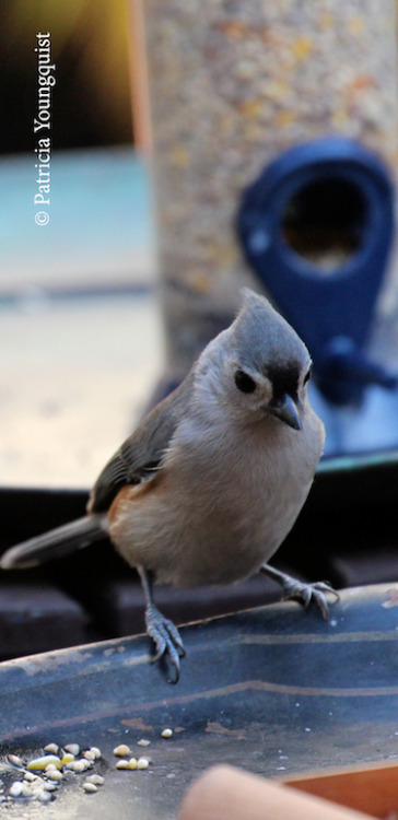 A very reverent tufted titmouse says grace before noshing in my urban (NYC) garden! More on birds and their feeding habits have been posted on TLLG's BLogger Pages! Please click here for the link.