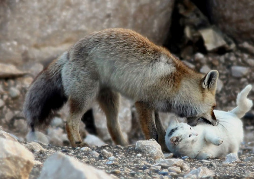 kittehkats:  Cat and Fox Become the Best of Friends A feral cat and wild fox living on the shores of Lake Van, near the city of Van, Turkey have overcome a tough and lonely existence to become inseparable friends. Often seen playing together, a local fisherman said he first saw them together when they cautiously shared what was left over from the fisherman's catch. Having slowly gotten used to each others company over some shared fish heads, the pair soon began to play together regularly, and it has now been well over a year since they began this unlikely friendship. Everybody needs someone to love. sources: animal-space.net                kotaro269.com