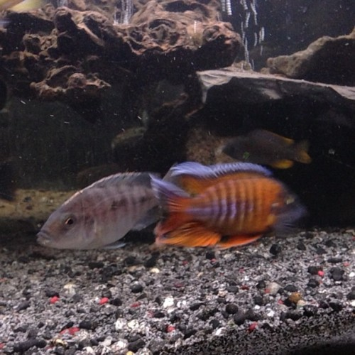 Pulling… #fishtank #mytank #freshwatertank #fish #aquatic #thelifeaquatic #Aquarium #communitytank #instafish #fishhub #fishgeek #fishlife #fishporn #aquaporn #tanklife #tankporn #aqualife #fishnerd #fintastic #aquascape #somethingisfishy #fishkeepers #fishfancy #cichlids #cichlidtank #100gallon #eurekaredpeacock