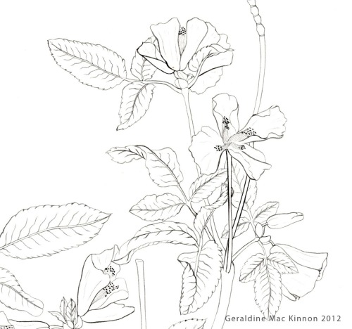 minaturalismo:  Euchryphia glutinosa, line work illustration (fragment) for the Royal Botanic Garden Edinburgh, August 2012.