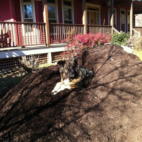 Dakota is grateful for a giant pile of mulch in which to rest!!