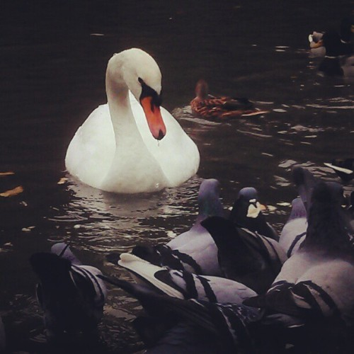Oh the white #swan
