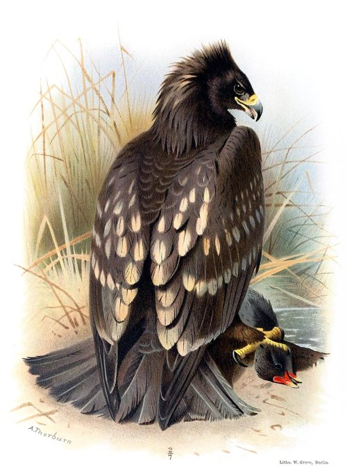 Spotted eagle.  Archibald Thorburn, from Coloured figures of the birds of the British Islands vol. 1, by Thomas Littleton Powys (Lord Lilford), London, 1885.  (Source: archive.org)