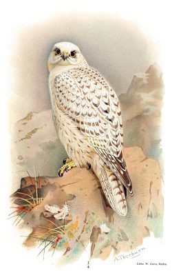 oldbookillustrations:  Greenland Gyrfalcon. Archibald Thorburn, from Coloured figures of the birds of the British Islands vol. 1, by Thomas Littleton Powys (Lord Lilford), London, 1885. (Source: archive.org)