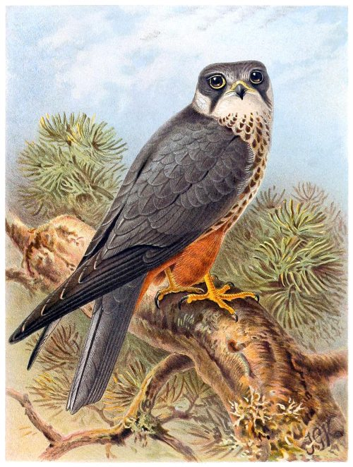 Eurasian hobby.  John Gerrard Keulemans,  from Coloured figures of the birds of the British Islands vol. 1, by Thomas Littleton Powys (Lord Lilford), London, 1885.  (Source: archive.org)