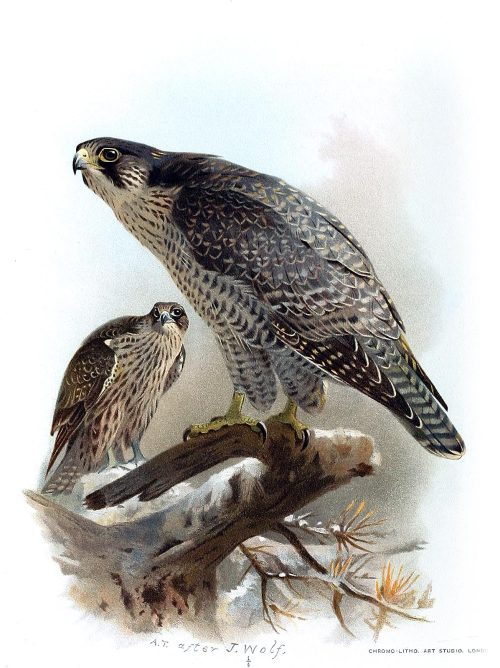 Gyrfalcon (brown morph).  Archibald Thorburn, after Joseph Wolf. From Coloured figures of the birds of the British Islands vol. 1, by Thomas Littleton Powys (Lord Lilford), London, 1885.  (Source: archive.org)