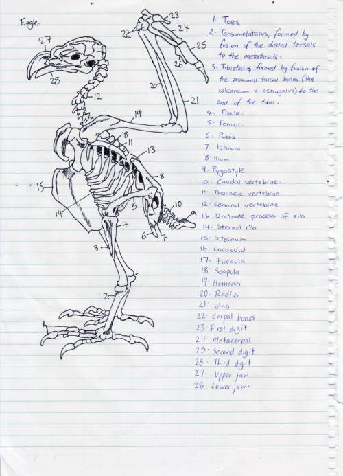 hopefulveterinarian:  Skeleton of an eagle