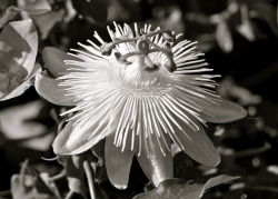 steepravine:  Passion Flower in Black and White (San Francisco, California - 11/2012)