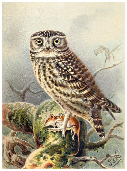 Little Owl.  John Gerrard Keulemans, from Coloured figures of the birds of the British Islands vol. 1, by Thomas Littleton Powys (Lord Lilford), London, 1885.  (Source: archive.org)