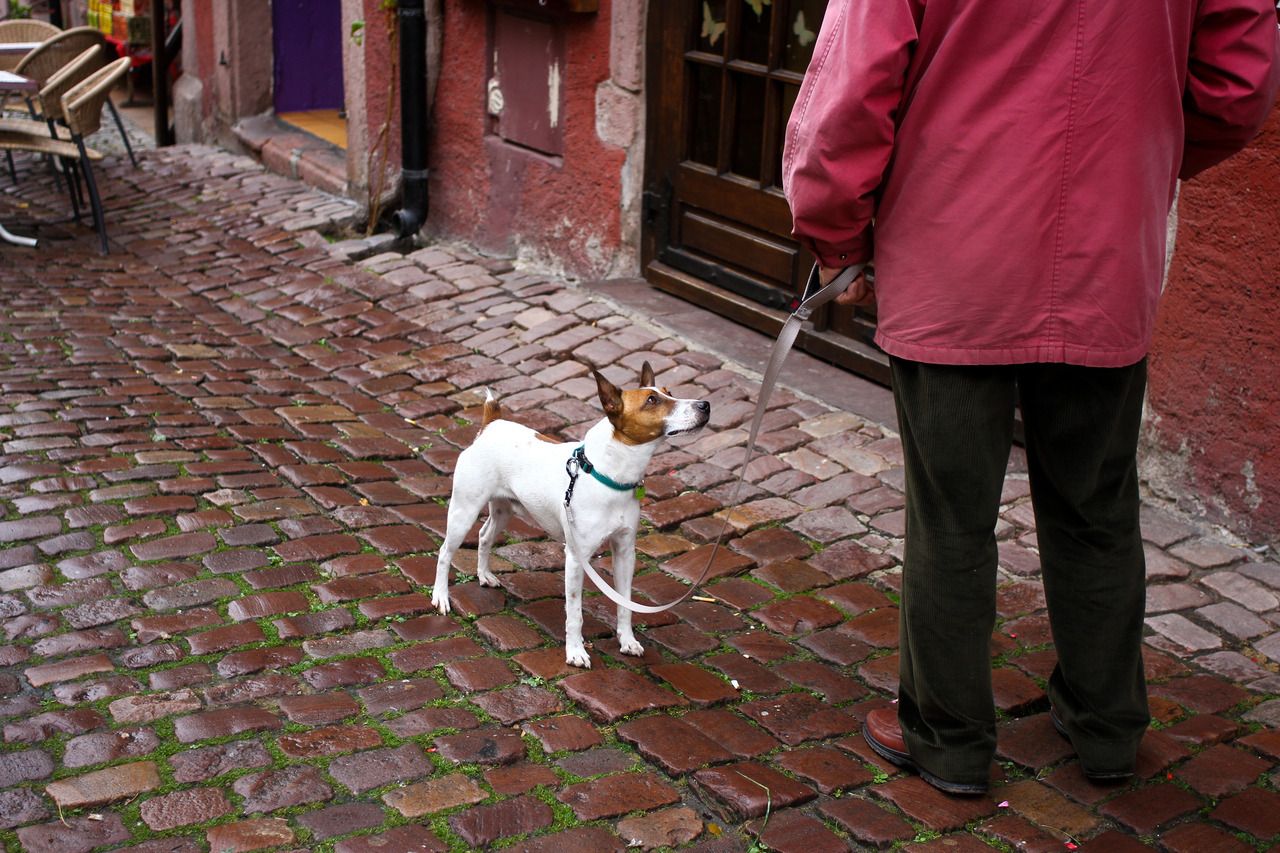A dog in the Alsace region of France: 2012.