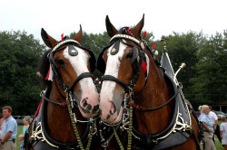 redwingjohnny:  Clydesdales by Curtis Brandt on Flickr.