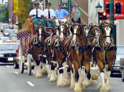redwingjohnny:  Budweiser Clydesdales by soul3029 on Flickr.