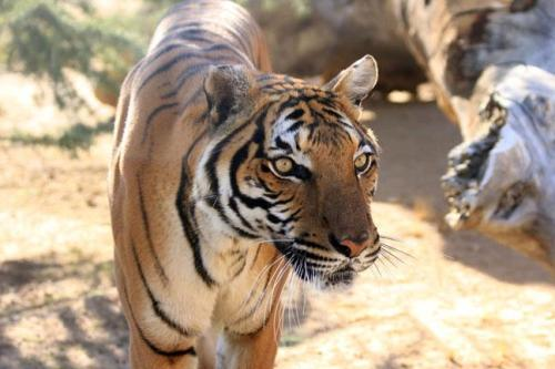 Bupati, the female Malayan Tiger, a highly endangered sub-species of tiger, has just arrived at the Feline Conservation Center in Rosamond, CA, USA. Come visit her this weekend!  http://www.wildcatzoo.org * The Exotic Feline Breeding Compound's Feline Conservation Center is dedicated to the protection and preservation of the world's endangered felines.