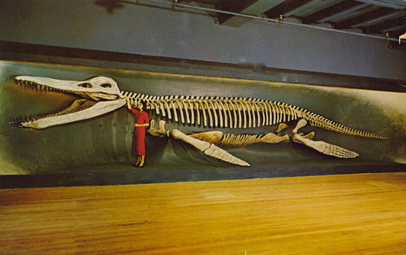 "NICE KRONOSAURUS!  KRONOSAURUS or ""SEA SERPENT"" Hall of Fossil Reptiles""Agassiz Museum""Museum of Comparative ZoologyHarvard UniversityCambridge, Massachusetts This giant fossil and its relatives were fish-eating reptiles which swam the seas in the days of the dinosaurs. This specimen from Australia, 42 feet long, was the giant of the tribe."