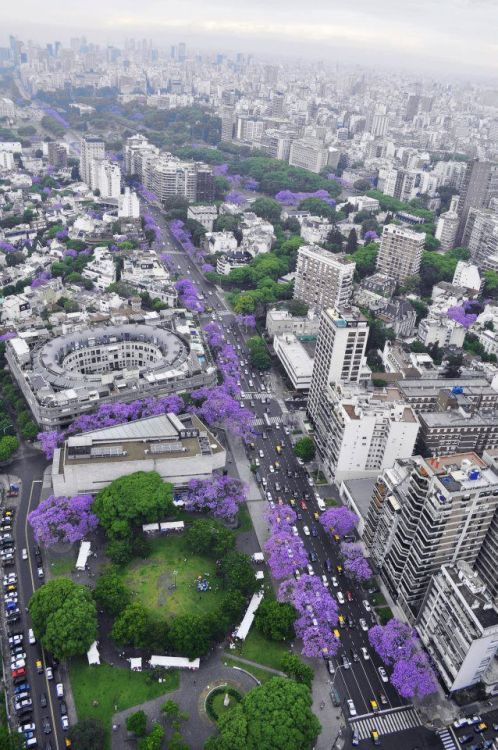 asunlightcardigan:  Buenos Aires turns purple in November, which is why I love Jacarandás so much.