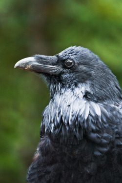 feathersandbeaks:  Common Raven in Jasper National Park (by Lee Rentz)