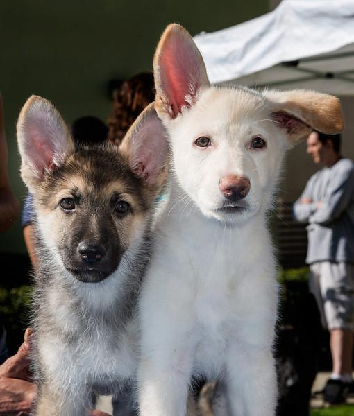 Two adoptable German Shepherd puppies Pumpkin and Blanca.