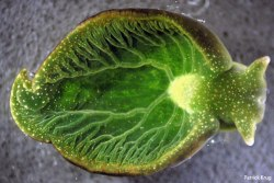 rhamphotheca:  Solar powered sea slug  Elysia chlorotica not only obtains chloroplasts from the algae it feeds on, it has incorporated algal genes into its own genome.More on this animal: http://eol.org/pages/450768/overview(photo: Patrick Krug, via Catologing Diversity in the Sacoglossa)