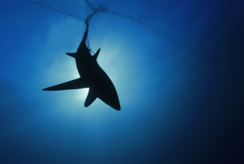 EU calls an end to the cruel practice of shark finning:  The European parliament on Thursday called a definitive halt to shark finning, the long contested practice of fishermen slicing off fins and throwing the live body overboard to drown.  Asia, we're now looking at you…